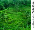 rice terrace fields indonesia bali - stock photo
