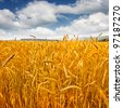 Ripe wheat against blue sky. Field of wheat under the blue sky. - stock photo