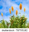 Sugar cane plant with flowers, Saccharum - stock photo